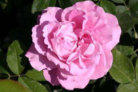 Historische Rose 'Mrs.John Laing' - Rosa 'Mrs. John Laing'