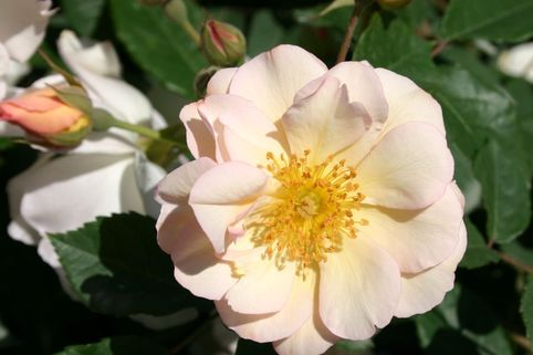 Historische Rose 'Penelope' - Rosa 'Penelope'