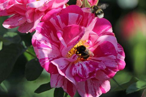 Historische Rose 'Versicolor' - Rosa gallica 'Versicolor'