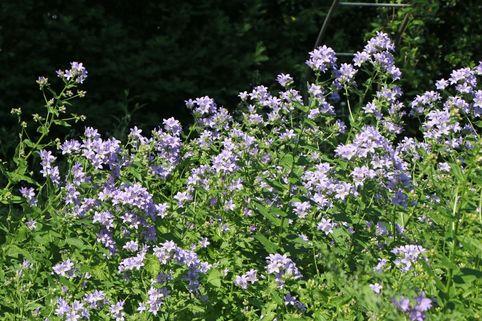 Hohe Dolden-Glockenblume - Campanula lactiflora
