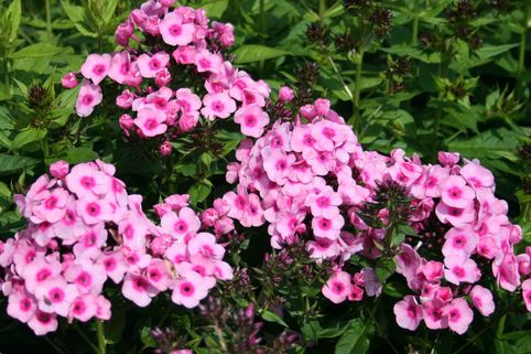 Hohe Flammenblume 'Baby Face' - Phlox x arendsii 'Baby Face'