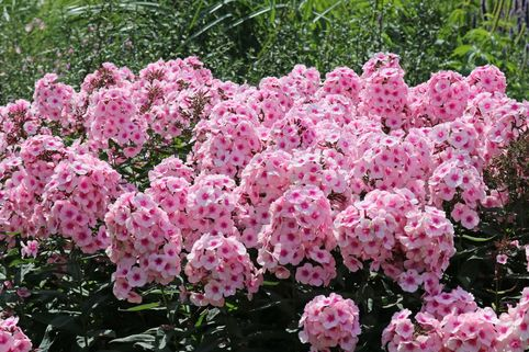 Hohe Flammenblume 'Bright Eyes' - Phlox paniculata 'Bright Eyes'