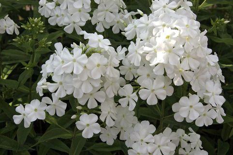 Hohe Flammenblume 'Dwarf White' - Phlox paniculata 'Dwarf White'
