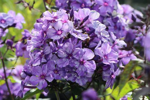 Hohe Flammenblume 'Freckles Blue Shades' - Phlox paniculata 'Freckles Blue Shades'