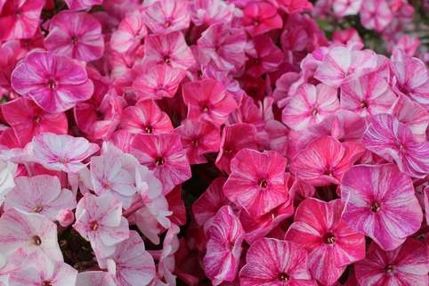 Hohe Flammenblume 'Freckles Pink Shades' - Phlox paniculata 'Freckles Pink Shades'