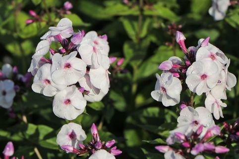 Hohe Flammenblume 'Ice Cream' - Phlox paniculata 'Ice Cream'