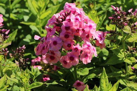 Hohe Flammenblume 'Jeff's Pink' - Phlox paniculata 'Jeff's Pink'