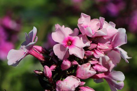 Hohe Flammenblume 'Landhochzeit' - Phlox paniculata 'Landhochzeit'
