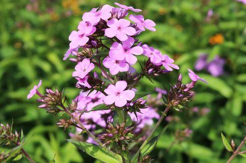Hohe Flammenblume 'Lilac Time' - Phlox paniculata 'Lilac Time'