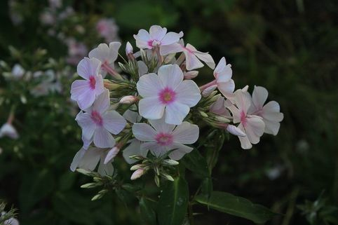 Hohe Flammenblume 'Miss Holland' - Phlox paniculata 'Miss Holland'