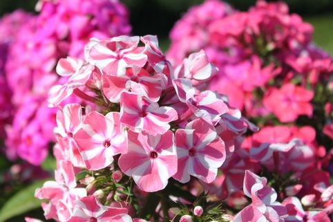 Hohe Flammenblume 'Peppermint Twist' ® - Phlox paniculata 'Peppermint Twist' ®