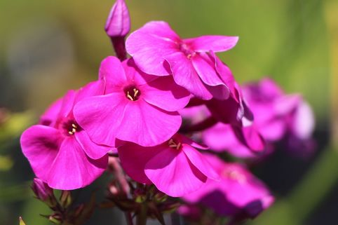 Hohe Flammenblume 'Purple Flame' - Phlox paniculata 'Purple Flame'