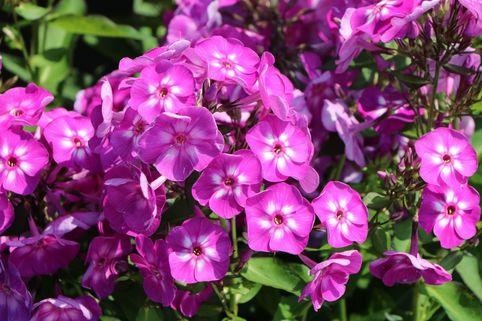 Hohe Flammenblume 'Purple Kiss' - Phlox paniculata 'Purple Kiss'