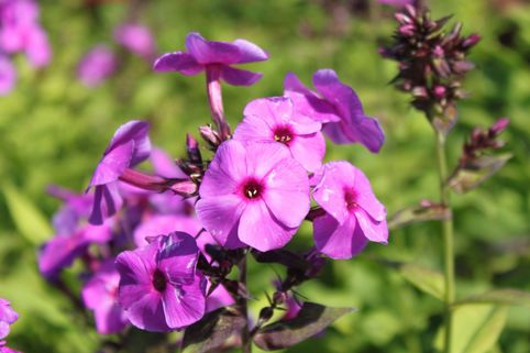 Hohe Flammenblume 'Purple Paradise' - Phlox paniculata 'Purple Paradise'