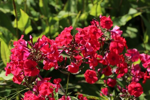 Hohe Flammenblume 'Red Riding Hood' - Phlox paniculata 'Red Riding Hood'