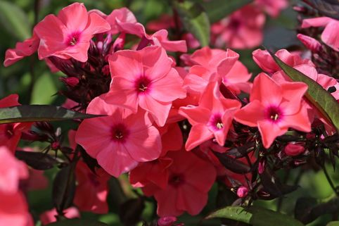 Hohe Flammenblume 'Sweet Summer Dream' ® - Phlox paniculata 'Sweet Summer Dream' ®