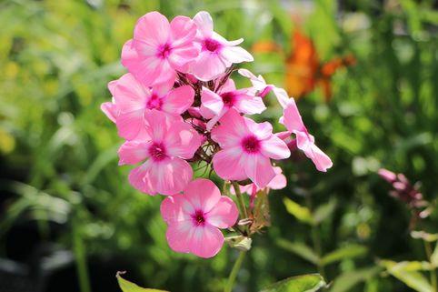 Hohe Flammenblume 'Sweet Summer Favourite' - Phlox paniculata 'Sweet Summer Favourite'