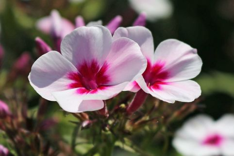 Hohe Flammenblume 'Swizzle' - Phlox paniculata 'Swizzle'