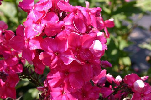 Hohe Flammenblume 'Tenor' - Phlox paniculata 'Tenor'