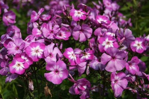 Hohe Flammenblume 'Uspech' - Phlox paniculata 'Uspech'