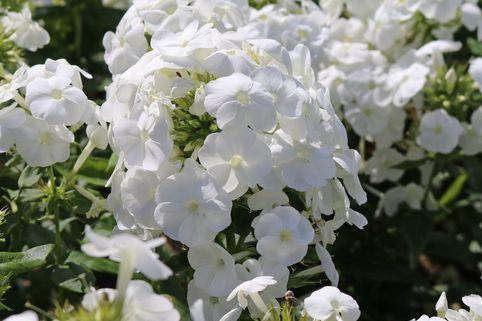 Hohe Flammenblume 'White Admiral' - Phlox paniculata 'White Admiral'