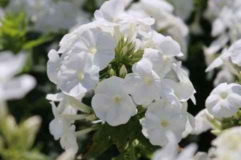 Hohe Flammenblume 'Younique White' - Phlox paniculata 'Younique White'