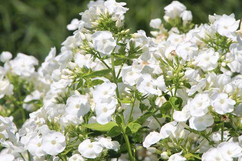 Hohe Garten-Flammenblume 'David' - Phlox paniculata 'David'