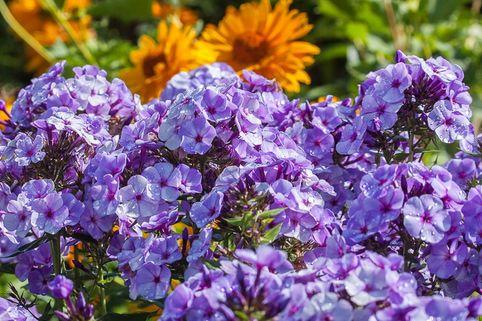 Hohe Garten Flammenblume 'Jeff's Blue' - Phlox paniculata 'Jeff's Blue'