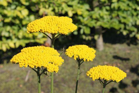 Hohe Gold-Garbe 'Summer Gold' ® - Achillea filipendulina 'Summer Gold' ®