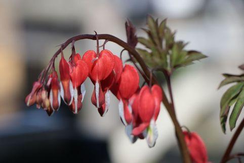 Hohe Herzblume / Tränendes Herz 'Valentine' - Dicentra spectabilis 'Valentine'