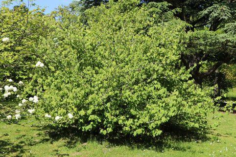 Hohe Scheinhasel - Corylopsis spicata