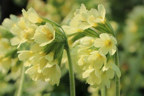 Hohe Schlüsselblume - Primula elatior subsp. elatior