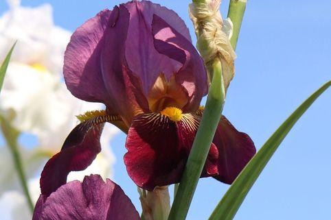 Hohe Schwertlilie 'Ambassadeur' - Iris x barbata-elatior 'Ambassadeur'