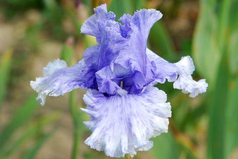 Hohe Schwertlilie 'Cascade Springs' - Iris x barbata-elatior 'Cascade Springs'
