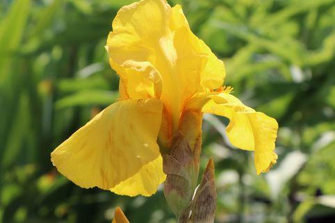 Hohe Schwertlilie 'Goldfackel' - Iris x barbata-elatior 'Goldfackel'