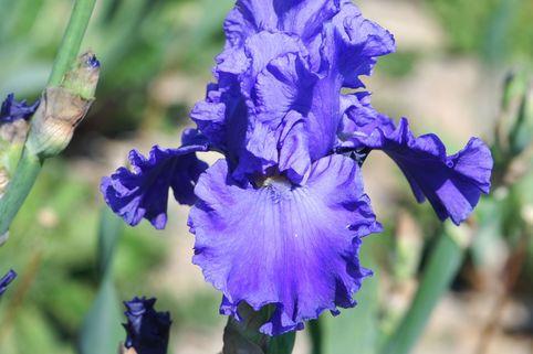 Hohe Schwertlilie 'Jazz me Blue' - Iris x barbata-elatior 'Jazz me Blue'