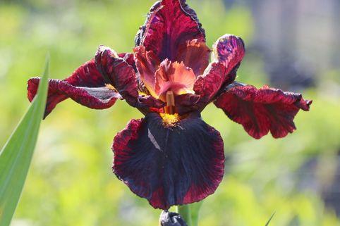 Hohe Schwertlilie 'Man From Rio' - Iris x barbata-elatior 'Man From Rio'
