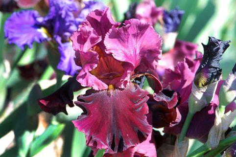 Hohe Schwertlilie 'Medici Prince' - Iris x barbata-elatior 'Medici Prince'