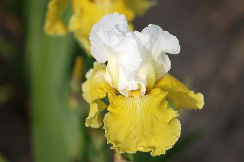 Hohe Schwertlilie 'Moon Journey' - Iris x barbata-elatior 'Moon Journey'