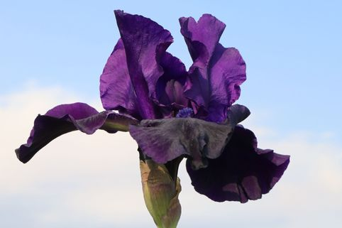 Hohe Schwertlilie 'Night Owl' - Iris x barbata-elatior 'Night Owl'