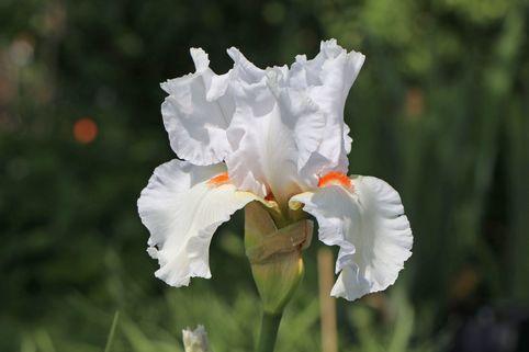 Hohe Schwertlilie 'Nordica' - Iris x barbata-elatior 'Nordica'