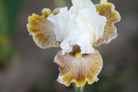 Hohe Schwertlilie 'Owyhee Desert' - Iris x barbata-elatior 'Owyhee Desert'