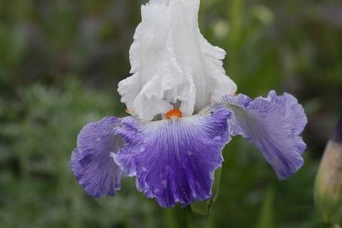 Hohe Schwertlilie 'Parisien' - Iris x barbata-elatior 'Parisien'