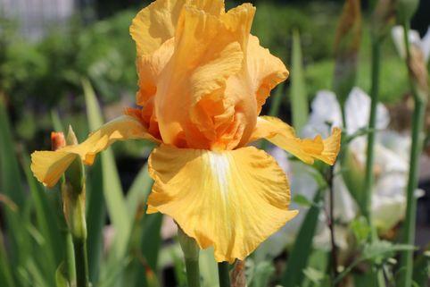 Hohe Schwertlilie 'Piroska' - Iris x barbata-elatior 'Piroska'