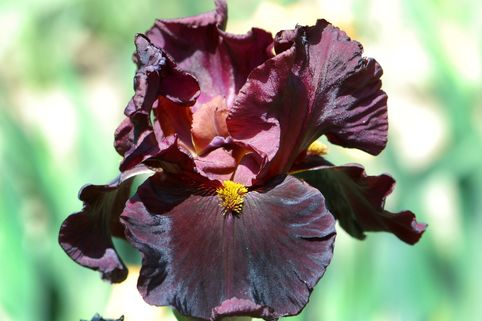 Hohe Schwertlilie 'Raptor Red' - Iris x barbata-elatior 'Raptor Red'