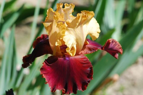 Hohe Schwertlilie 'Smart Move' - Iris x barbata-elatior 'Smart Move'