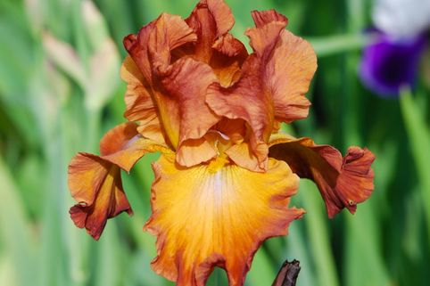 Hohe Schwertlilie 'Trail West' - Iris x barbata-elatior 'Trail West'