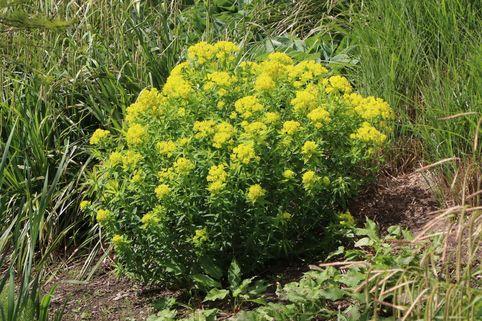 Hohe Wolfsmilch 'Goldener Turm' - Euphorbia cornigera 'Goldener Turm'