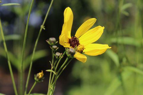 Hohes Mädchenauge - Coreopsis tripteris
