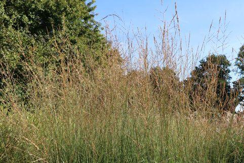 Hohes Pfeifengras 'Windspiel' - Molinia arundinacea 'Windspiel'